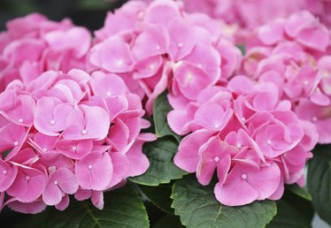 How to Treat Soil to Make Hydrangeas Pink