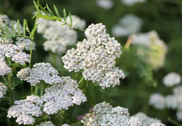 What Is Yarrow Flower?