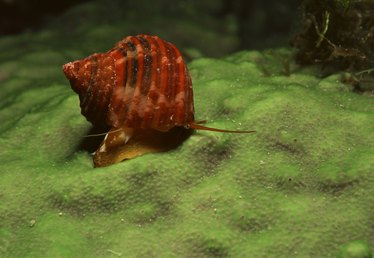 Reproduction in Freshwater Snails