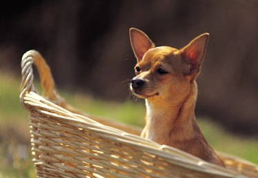 Information on the Menstrual Cycle of a Chihuahua