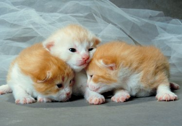 What Is the Normal Birth Weight of a Newborn Kitten?