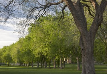 American Elm Tree Facts