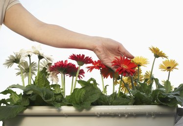 How to Cure Gerbera Daisy Fungus