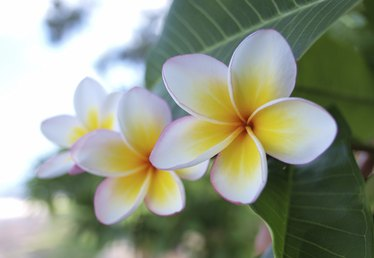 How to Grow a Plumeria