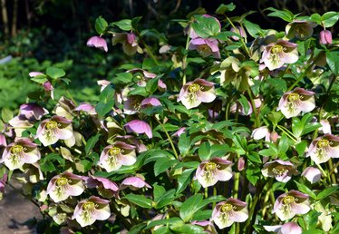 How to Plant the Lenten Rose