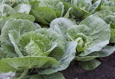 When to Plant Cabbage?