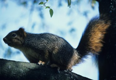 Will Mothballs Help Keep Squirrels Out of Attics?