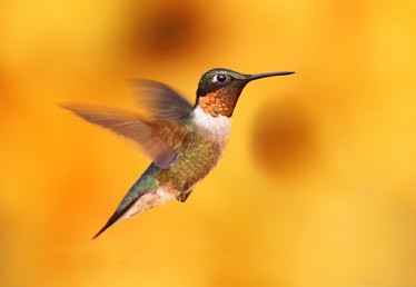 Hummingbird Facts for Children
