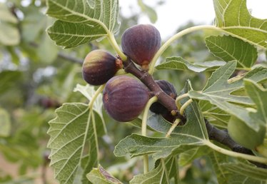 How to Grow Fig Trees in the Pacific Northwest