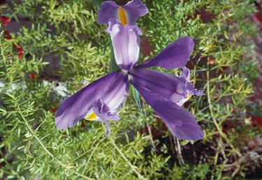How to Identify Iris Plants