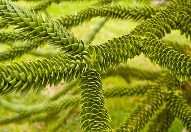 How to Care for Monkey-Puzzle Trees