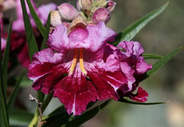 How to Care for a Desert Willow Tree