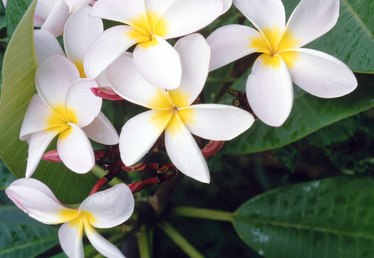 Common Plumeria Diseases
