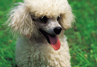 Tricks to Teach Your Toy Poodle