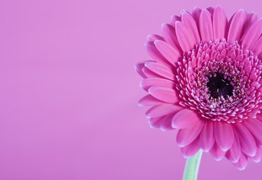 How to Care for the Indoor Gerber Daisy