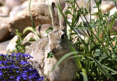 Homemade Ideas to Keep Rabbits out of Gardens