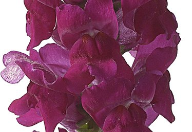 How to Grow Snapdragons in a Pot