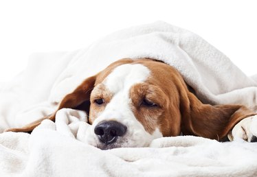 What Is a Dog's Normal Body Temperature?