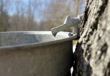 Damage Caused by Tapping Maple Trees