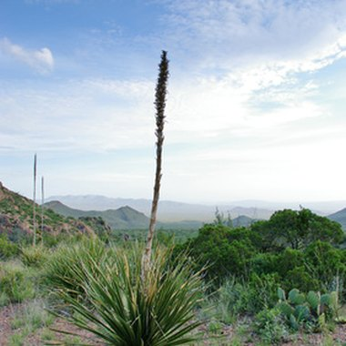 The Big Bend area consists mostly of desert landscape.