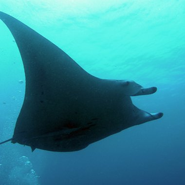 Spot graceful manta rays while diving in Fakarava.