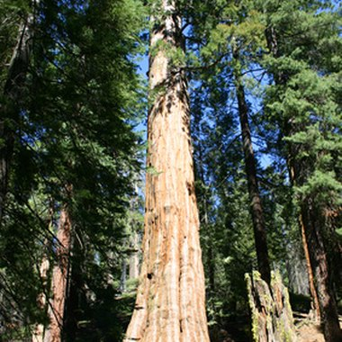Kings Canyon National Park lies in the range of the giant sequoia.