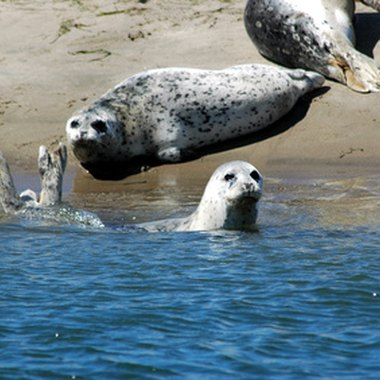If you see a harbor seal in Lincoln City, admire it from a distance -- like from your hotel room.