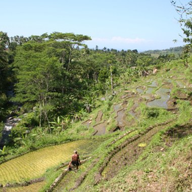 Terraced rice fields punctuate the verdant landscape of central Bali.