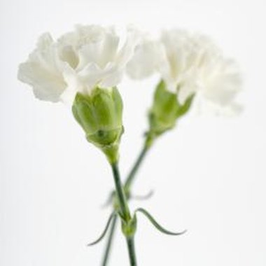 The best flowers to make glow are white carnations.