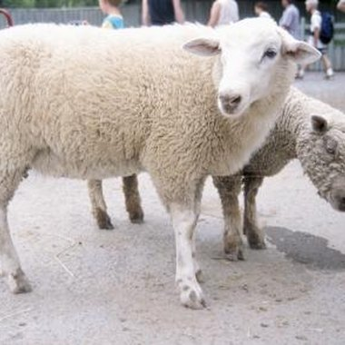 Sheep are just one of over a dozen animals at this farm.