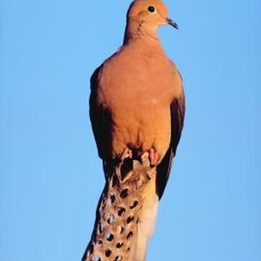 Mourning doves may be hunted during the open season throughout California.