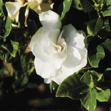 Gardenias are a staple in southern landscaping.