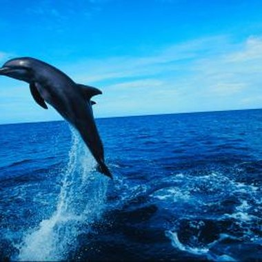 Dolphins must come to the surface of the water to breathe air through their blowholes.