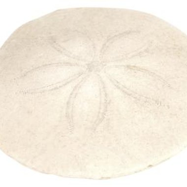 Bleaching a sand dollar is a simple way to help preserve and whiten it.