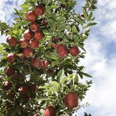 Most orchards near Chatham, Ontario, provide a list of the apples they grow.