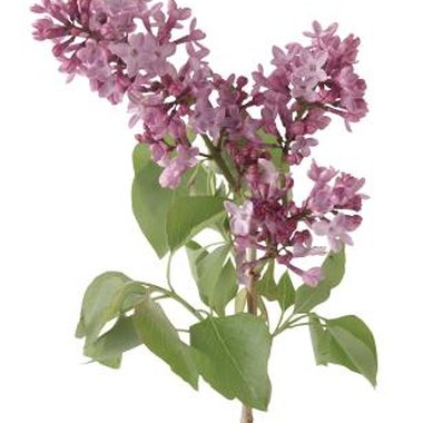 Common lilacs have a pale purple flower and sweet scent.