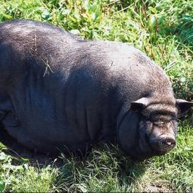 Wild hogs often attack on sight of humans.