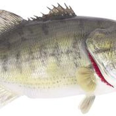The longest striped bass ever caught in California was more than 4-feet long.