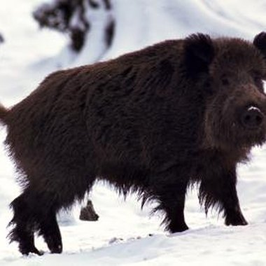 Wild pigs are hairier than domestic pigs.
