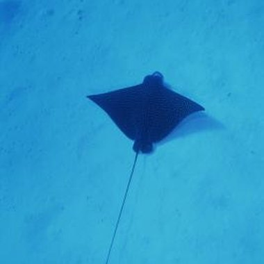 Snorkel tours off Key Biscayne allow snorkelers to view spotted eagle rays and other tropical wildlife.