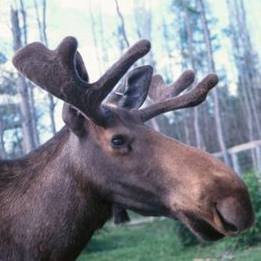 Plan entertaining games for your child's next moose-themed party.