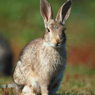 Rabbits are often hunted on cold, miserable days.