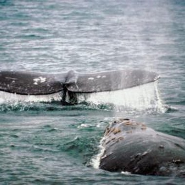 Gray whales visit Westport each spring on their way to Alaska.
