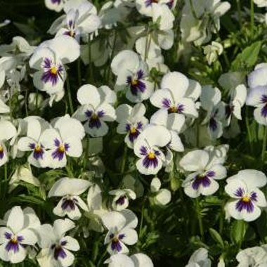 Pansies look sweet in a spring or summer basket.