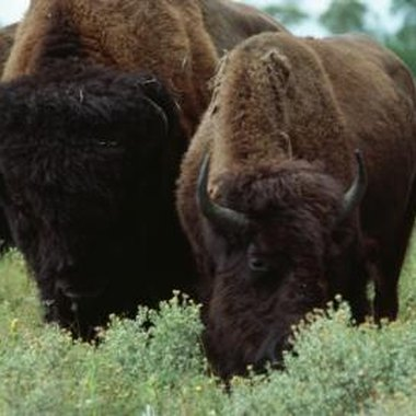 Buffalo are one of the largest game animals in North America and a hunt can be the experience of a lifetime.