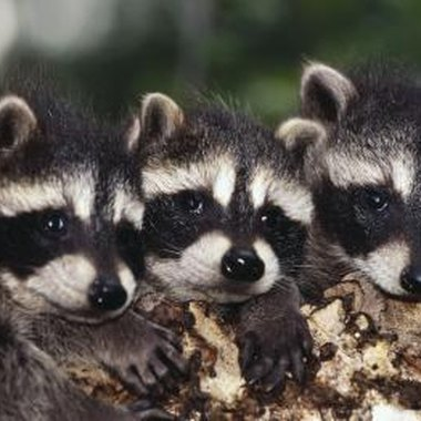 Coon hunting helps keep the raccoon population under control.