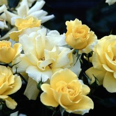 Commercial yellow roses come in several shades.