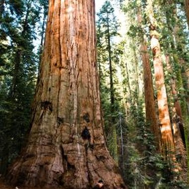 The giant sequoia is found in many California national and state parks.