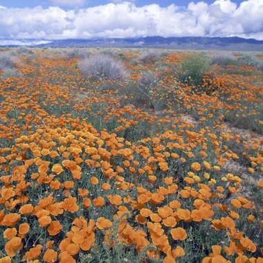 Poppies bloom every spring in the Antelope Valley's Poppy Reserve.