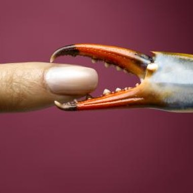 Avoid getting pinched by the blue crab's claw; the result is painful.